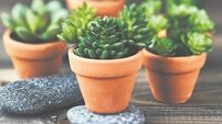 Pots of promise: How to create a display of succulents
