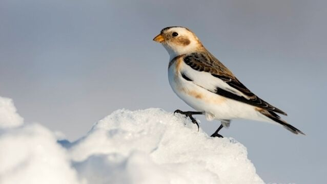 Snow bunting is beautiful, but a rare visitor