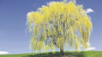 The wonders of willows: A key part of Ireland's biodiversity