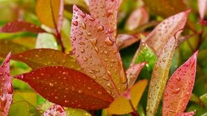 Showing their true colours: Don't discount all evergreen plants when seeking autumn variety
