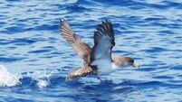 Cory's shearwaters show long-distance qualities