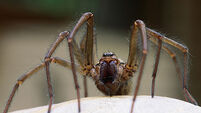 Six rare spiders found in Killarney National Park