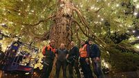 3,000 bulbs and counting ... Killarney's Christmas tree of light is unveiled