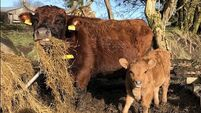 'She is like a little koala bear': One of Ireland's tiniest calves born on Sligo farm
